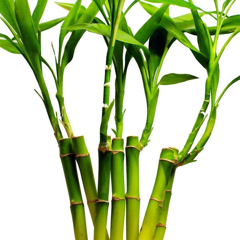 Драцена Бамбук Счастья (Lucky Bamboo)